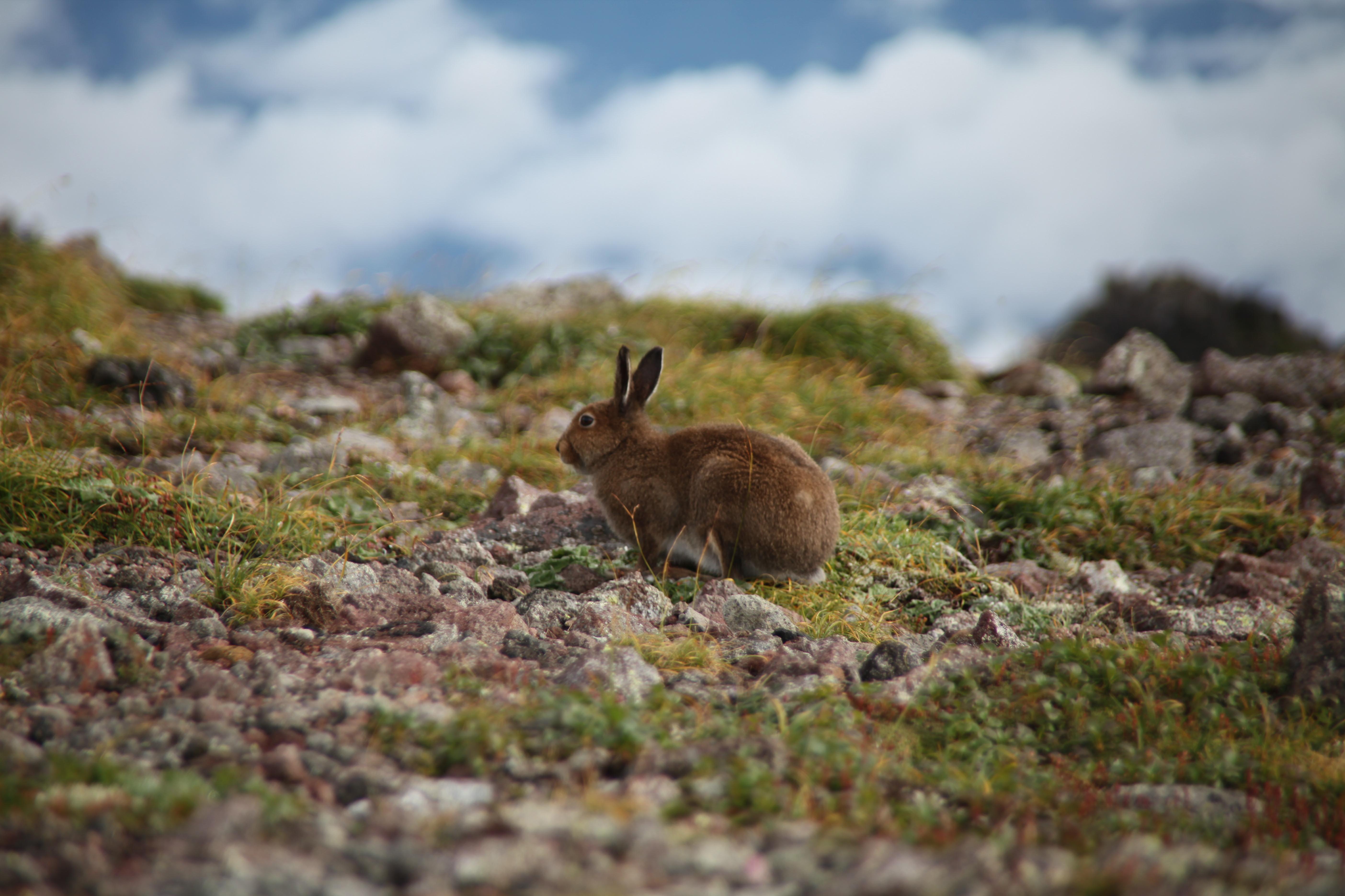 H26.8.15小泉岳エゾユキウサギ